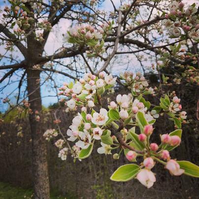 Mooie bloemsem op fruitbomen