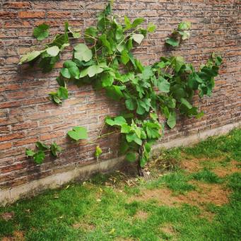Klimplant tegen muur leiden