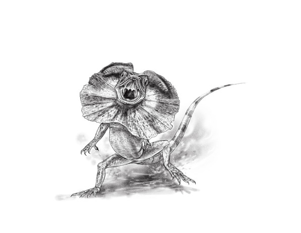 Frilled-neck Lizard