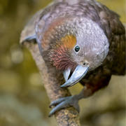 Curious wild kākā parrot
