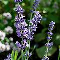 Lavandula_angustifolia090718.jpg