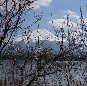הר פוג'י ועצי דובדבן יפן