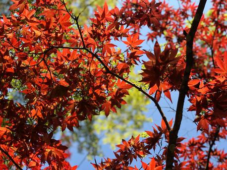 עץ מייפל מיאג'ימה יפן