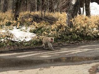 קופים בשמורת קמיקוצ'י יפן
