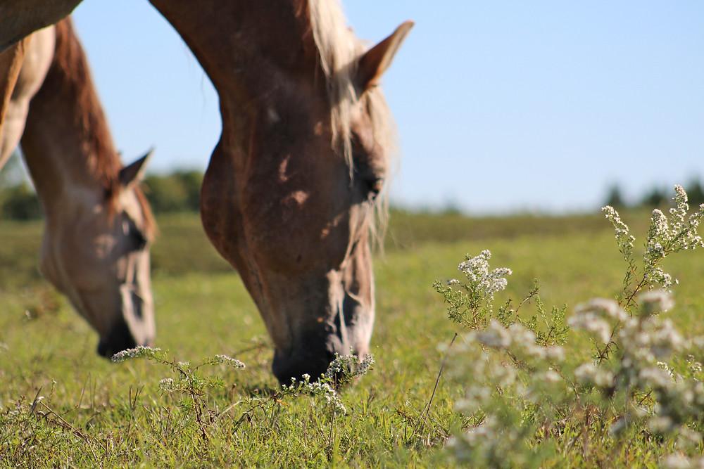 Barney grazing