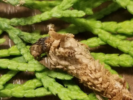 What is a bagworm?  And why do I need to know?