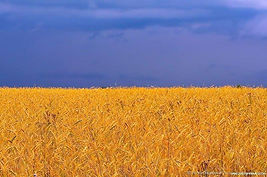 Україна-небо і пшеничне поле.jpg