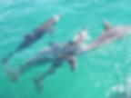 tangalooma dolphins.png