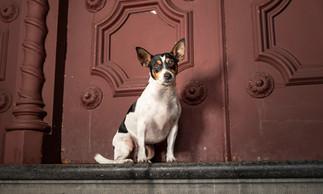 Zoe - Fox Terrier 2.jpg