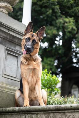 Nala - German Shepherd.jpg