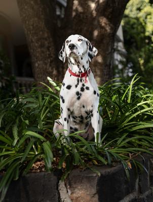 Pocky - Dalmatian.jpg