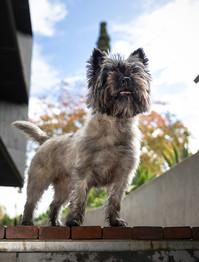 Abby - Cairn terrier.jpg
