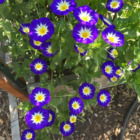 Convolvulus tricolor 'Blue Ensign' (Dwarf Morning Glory)