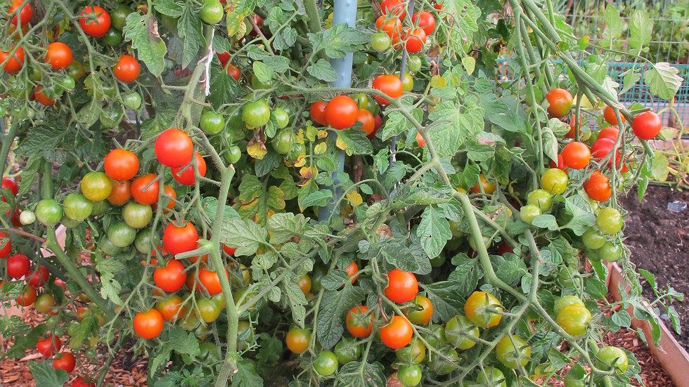 Cherry Tomato-Sweet Million (6 in. pot)