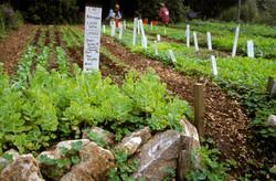 Lettuce in the Up Garden