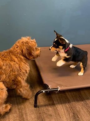 In-Home Basic Puppy Training