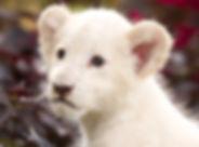 Panthera leo krugeri 003.jpg