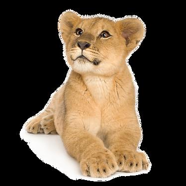 lion-cub-5-months-PPW9F7X.png