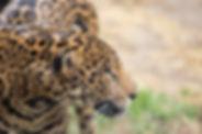 Panthera onca 005.jpg