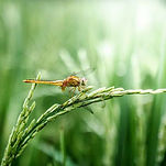 dragonfly-2551460_640 - コピー.jpg