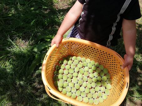 梅の効能と、簡単「梅ポン酢」の作り方(梅仕事1)