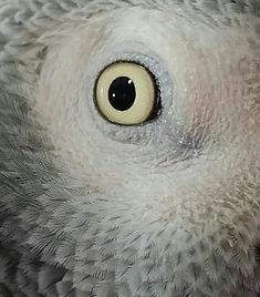 Lori, Congo African Grey