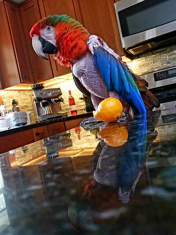 chicken Macaw.jpeg