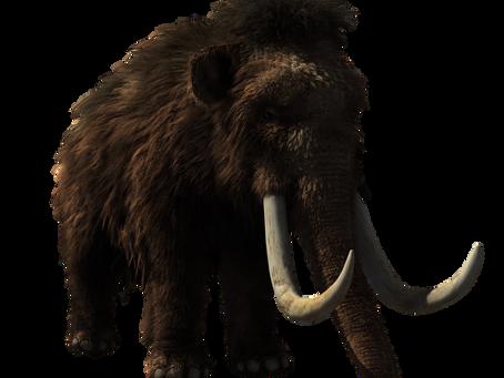 stek z mamuta, nosorożec na przystawkę