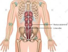 Rectus abdominus or 6-pack muscle