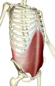 Transverse Abdominus TVA muscle