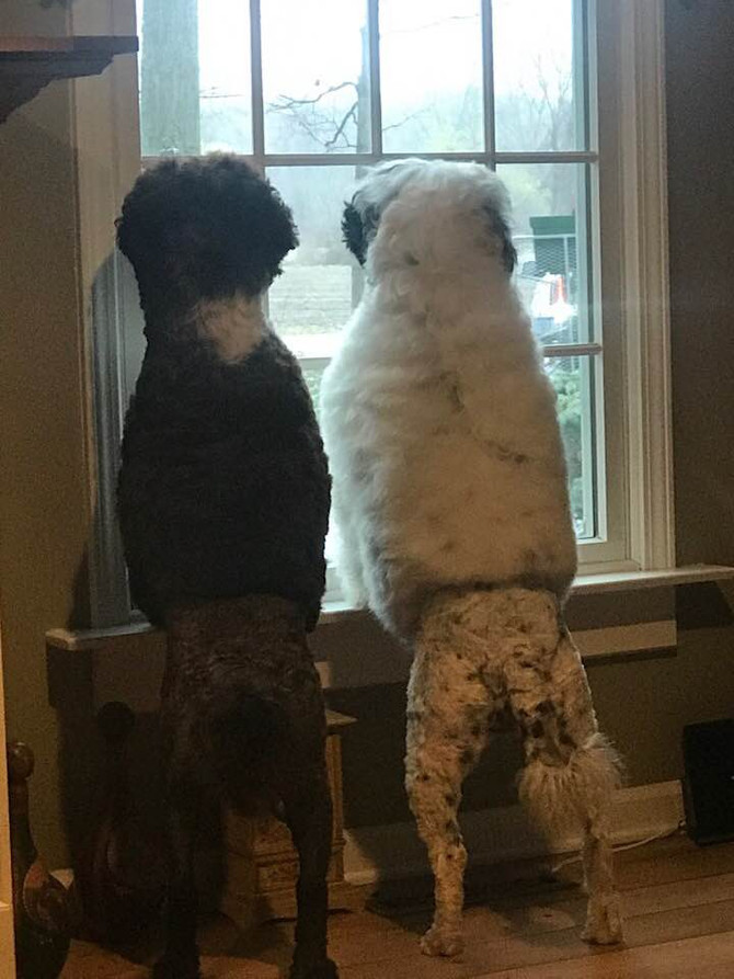 Keeper and Susie waiting for Dad to come home!!