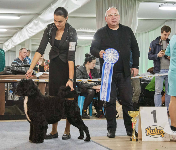 Gilligan is #1 PWD in Russia, and Top Ten All Breed 2017