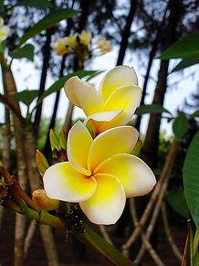 fleurs de frangipaniers