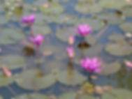Lotus,  vietnam à la carte by asieland