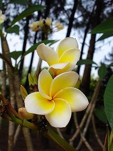 Fleurs de Frangipanier,  vietnam à la carte by asieland