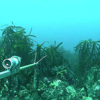 Crayfish_in_kelp.jpg