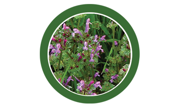 Henbit, lawn, care, programs