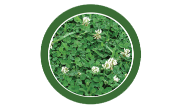 white clover, lawn, care, programs