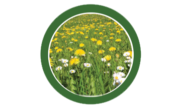 dandelion, lawn, care, programs