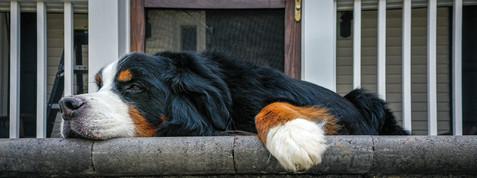 bernese mountain dog.jpeg
