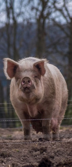 Get In Touch - Drovers Hill Farm - Organic Pigs