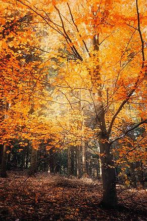 Photo_hêtre_automne.jpg