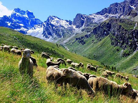 Queyras moutons et Viso.jpg
