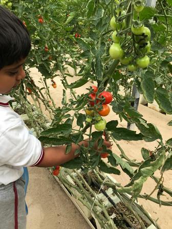 Tomato picking - farm trip.jpg