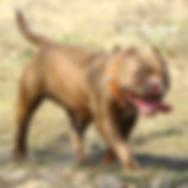 Щенки американского булли, питомник собак, купить щенка булли, Тарус питомник, bully.land, Delawareexoticbullies Coco