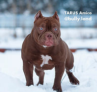 Щенки американского булли, питомник собак, купить щенка булли, Тарус питомник, bully.land, TARUS kennel, TARUS Amico bullyland