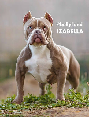 Izabella Tarus kennel  american bully