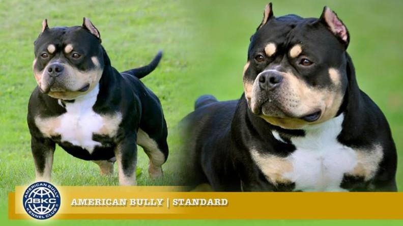American Bully Standart.JPG