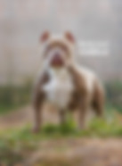 TARUS kennel, bully.land