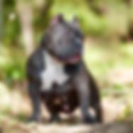 Щенки американского булли, питомник собак, купить щенка булли, Тарус питомник, bully.land, TARUS kennel, Tarus Princess BooBoo